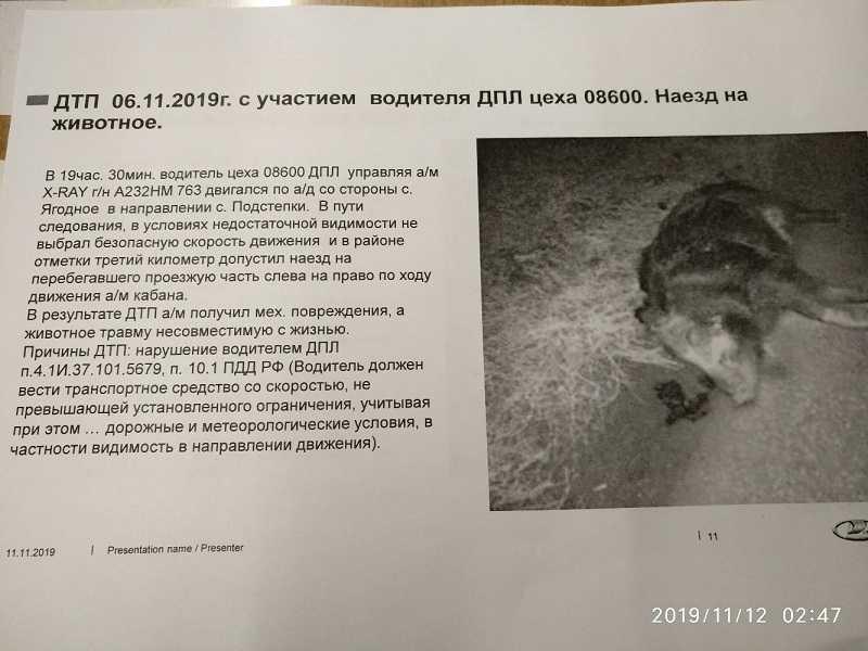 АВТОВАЗ официально зафиксировал производственную травму и гибель кабана