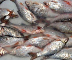 Тольяттинский эколог: волжская рыба опасна для здоровья при регулярном употреблении в пищу