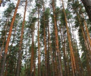Перед тем, как рассуждать о настоящем и возможном будущем тольяттинского леса, сразу прямо скажем: те, кто стоит на позициях «ни в коем случае не трогайте ни одного дерева» - просто истерики, не желающие мыслить рационально. Им лучше дальше не читать, а то их истерика усилится.